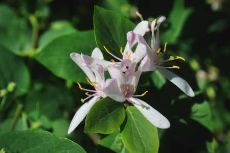 Frangula alnus flowering bush, blooming white flower close up detail, dark green leaves blurry background. Stock fotó