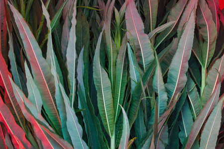 Leaves of fireweed closeup. Plant materials for the production of Ivan tea.