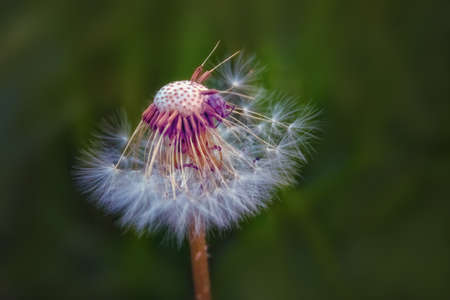 Close up of white dandelion. Blooming blowball in macro on blurry green background.