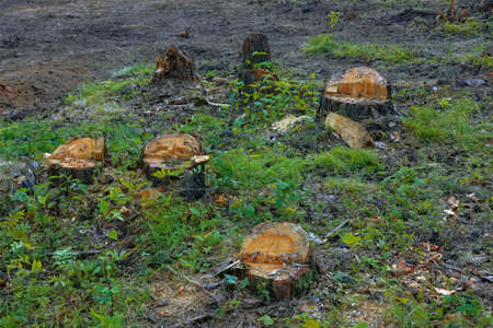 A row of stumps of freshly sawn trees in a forest.