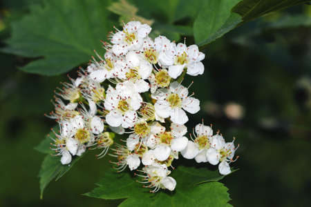 White flowers of hawthorn. Summer green natural background. 免版税图像