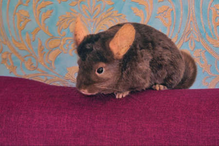 A young homemade brown chinchilla is sitting on the back of a sofa close-up.