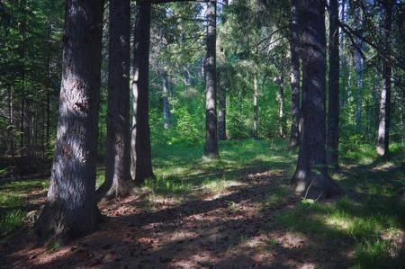 Fir tree on sunny summer day. Summer landscape, spruce forest.