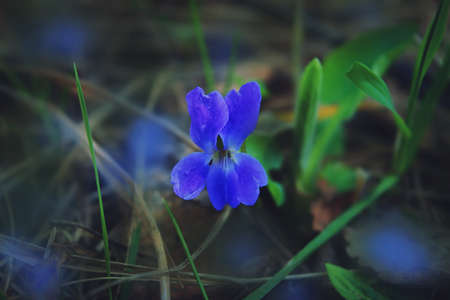 Closeup of spring violet flowers Viola odorata. Viola odorata known as wood violet or sweet violet. 免版税图像