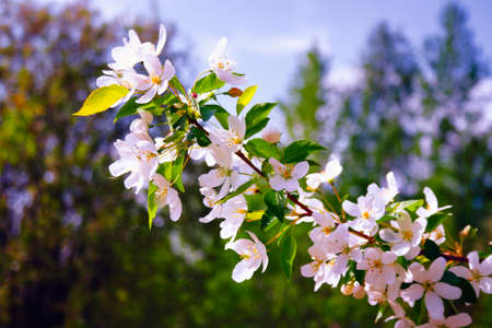 Close up of pink, wild apple tree flowers. Flowering trees - waking up nature.