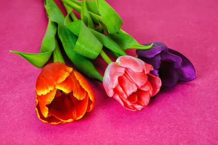 Three tulips of violet, red and pink flowers on a pink background. Stock fotó