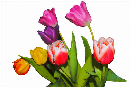 Tulips of violet, red, yellow and pink flowers isolate on a white background.