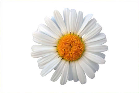Close-up of wild camomile flower top view isolate on a white background.