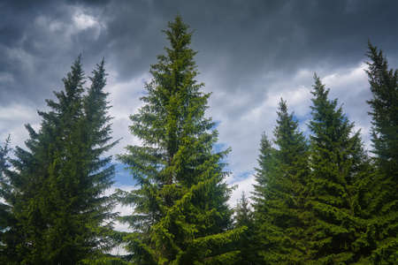 The tops of spruce trees against a cloudy sky. Nature backdrop with firs and sky. Stock fotó
