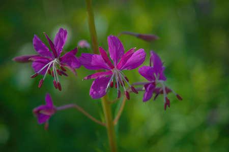 Flowers of Chamaenerion angustifolium blooming in summer field. Product for natural tea. Herbal medicine. Stock fotó
