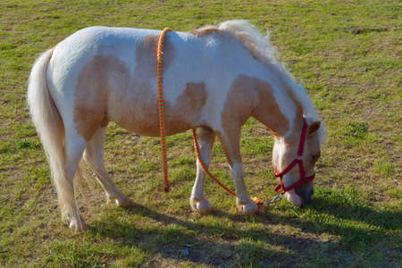 Pony or small horse eating grazing on green grass.