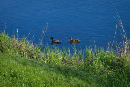 A pair of wild ducks swims down the river on a sunny summer day. Duck and spleen swim in the river.