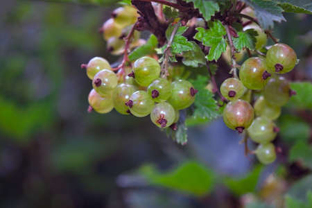 Red currants in the summer garden. Red currant berries on a branch against a background of green foliage.