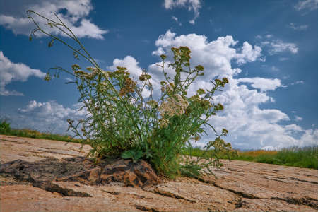 A bush of yarrow growing among the stones on the top of the mountain against the blue sky and white cumulus clouds.
