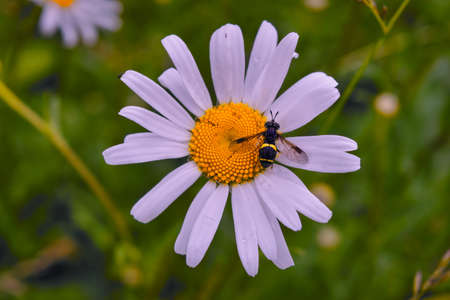 A hoverfly fly on a chamomile flower on a blurred natural green background.