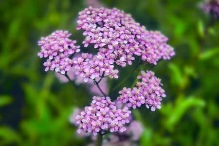 Achillea millefolium, known commonly as yarrow. Wildflower. Achillea millefolium or yarrow pink flowers close up.
