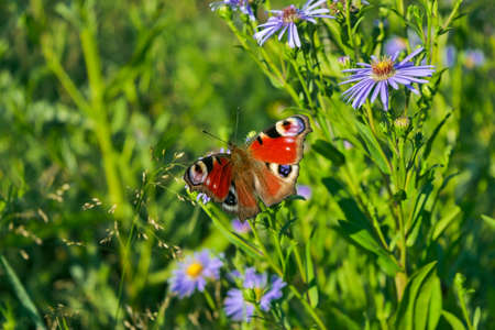 A beautiful Peacock Butterfly, Aglais io, nectaring on a Wild aster flower close-up. Stockfoto