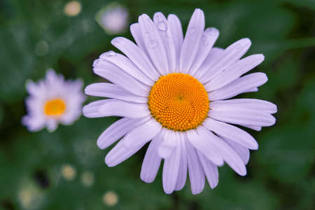 Close-up of wild camomile flower top view on blurred natural background.