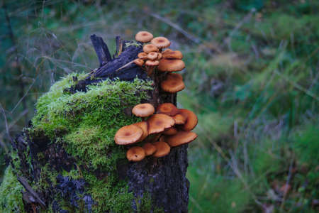 Bunch of Armillaria mellea mushrooms in the autumn forest grows tree trunk.