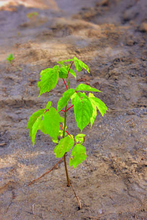 Acer negundo. A close-up of the American ash-leaved maple tree growing on the sand.