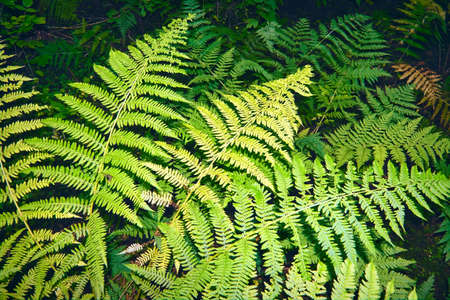 Vivid green texture of lush fern thickets. Beautiful nature background with many fern leaves close-up.