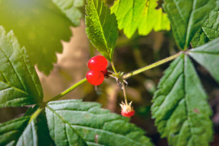 Red berries and green leaves of Stone bramble. Rubus saxatilis.