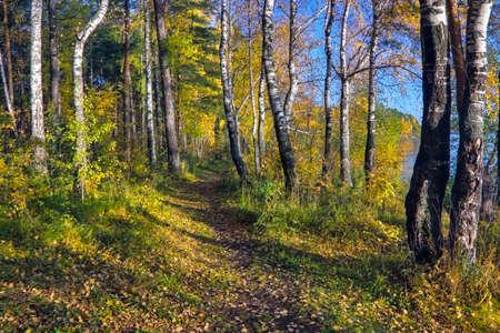 Beautiful landscape in autumn birch grove. Autumn landscape birch trees and fallen autumn leaves in sunny day. Colorful sunny autumn scene. Stockfoto
