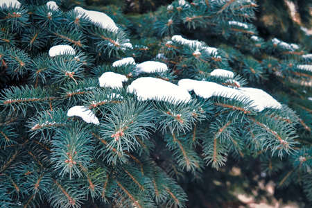 Winter background. Beautiful evergreen tree in the forest and covered with snow. Snow-covered Christmas tree. Blue spruce branch close-up. Stockfoto
