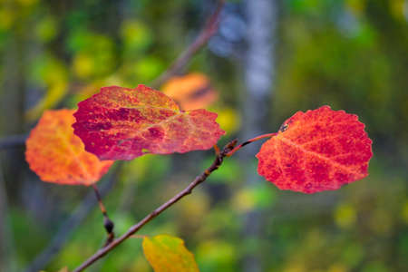 Bright colorful autumnal leafs of aspen branch. An aspen branch with bright red autumn leaves close-up.