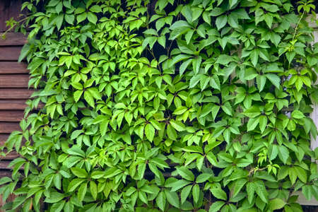Background of green leaves. Green hedge. Background of green leaves. Hedgerow. Climbing plant.