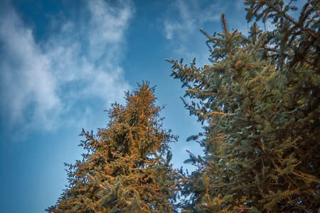 Branches of fir trees against the background of the blue sky and white clouds. Stock fotó