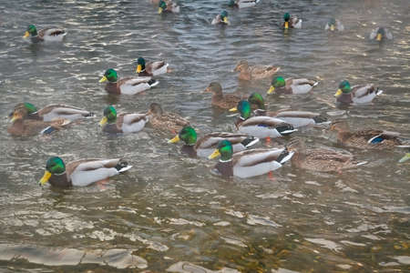 A flock of wild ducks on the lake. Many wild ducks swim in the winter lake. A flock of ducks in the water. Stock fotó