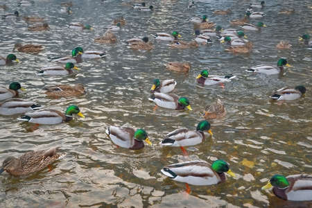 A flock of wild ducks on the lake. Many wild ducks swim in the winter lake. A flock of ducks in the water. Banque d'images