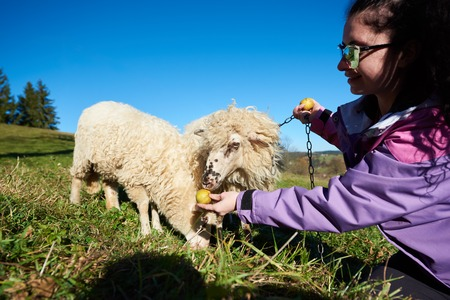 Young smiling woman in sunglasses giving apples to white sheep grazing chained in green grassy meadow on bright sunny day. Ecology and environment friendly farming, fleece and meat production concept.