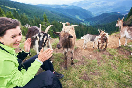 Close up of laughing brunette woman sitting on grass near group of mammal animals, mountain scenery with forest on background. Rocky mountain goats in warm sunny summer day, cloudy sky. 版權商用圖片
