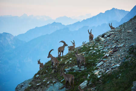 Horizontal snapshot of group of alpine goats captured in their natural habitat, ibexes high in rocky mountains living in herd on slopes. Amazing mountain ranges. Concept of wild fauna