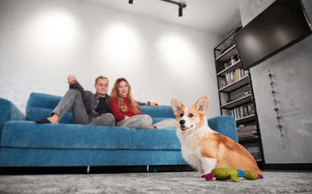 Adorable Corgi dog sitting on the floor near toy while young man and woman resting on couch. Cozy room with beautiful cute dog and loving couple on blurred background. Focus on dog.
