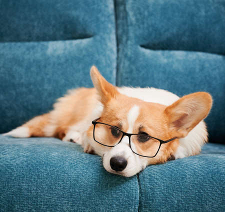 Close up of beautiful dog in glasses resting on blue comfortable couch. Cute Welsh Corgi in eyeglasses resting on sofa. Concept of smart pets.