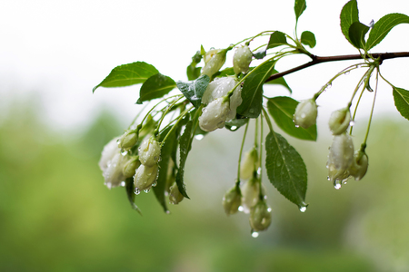 Pretty apple blossoms after a soft Spring rain