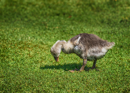 juveniles: Adorable Little Gosling Looking for Food in the Grass Stock Photo