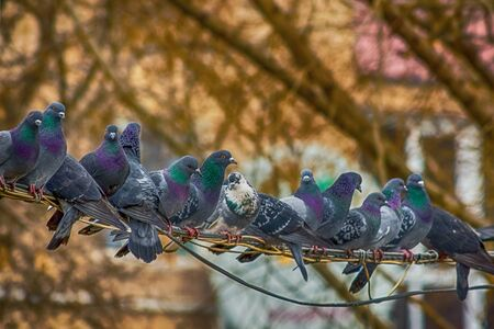 pigeon: Pigeons sit on wires in city park