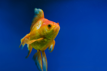 carassius auratus: The underwater world. Bright Exotic Tropical coral fish in the Red Sea artificial environment of the aquarium with corals and algae aquatic plants Stock Photo