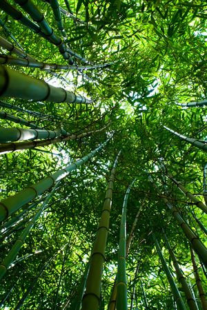 Bamboo grove, shot from bottom with wide lens for perspective effect Stock Photo