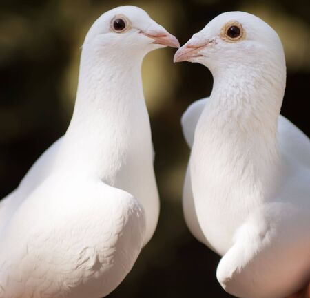 ing: White pigeons couple ing, their heads and necks forming a  shape