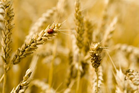 Golden wheat field with ladybird on a spike photo