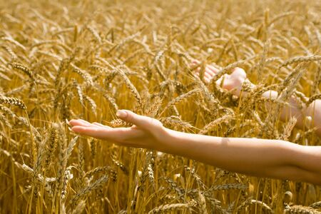 barley head: Caucasian woman holding out her arms towards wheat spikes