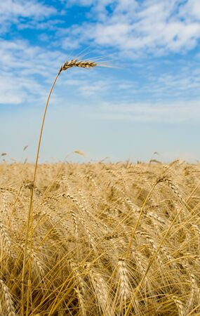 Golden wheat field with one spike close-up Stock Photo - 3340713