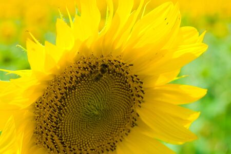 Bee on sunflower gathering pollen, close-up Stock Photo - 3340711