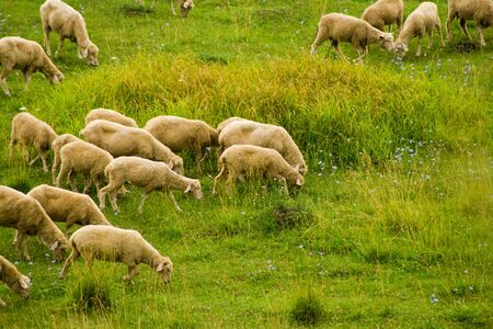 Several sheep eating  green grass on the meadow photo