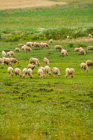 Hungry sheep group on the meadow photo